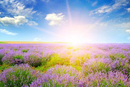 Piękne lawendowe pole o zachodzie słońca. Krajobraz rolniczy.