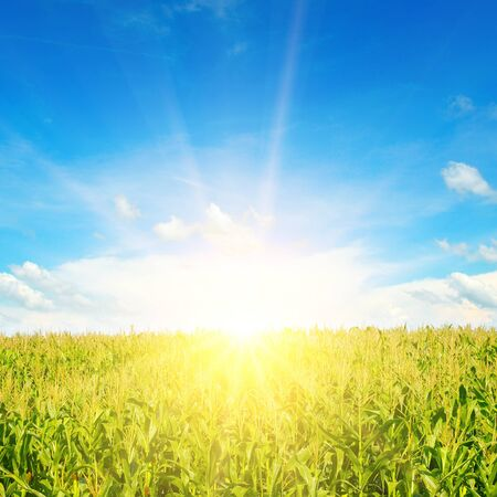 Green corn field and bright sunrise against the blue sky. Agricultural landscape.