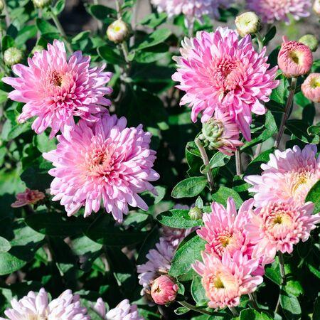 Bright background of blooming chrysanthemums in the flowerbed. Reklamní fotografie - 135503320