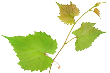 Vine and leaves isolated on white background.