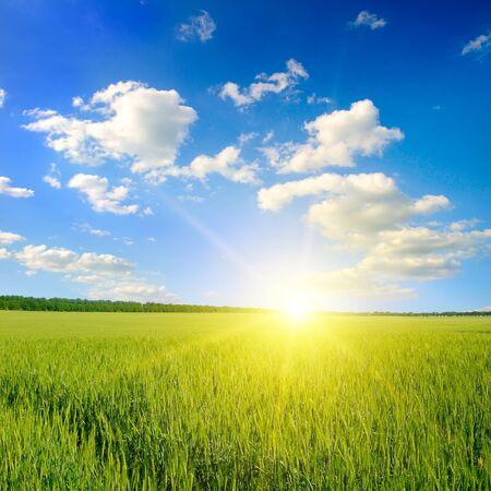 Green field, sunrise and blue sky. Agricultural landscape. Standard-Bild