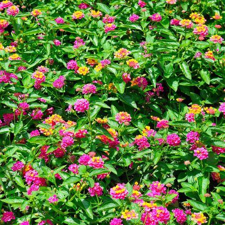 Beautiful floral background in the city garden. Summer. Foto de archivo - 137896675