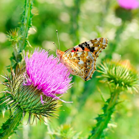 Painted Lady butterfly (vanessa cardu) feeding nectar from a purple thistle.