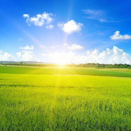 Campo di grano verde, sorgere del sole e cielo blu. Paesaggio agricolo.