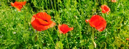 Scarlet poppies in a green meadow. Spring summer nature background concept. Wide photo.