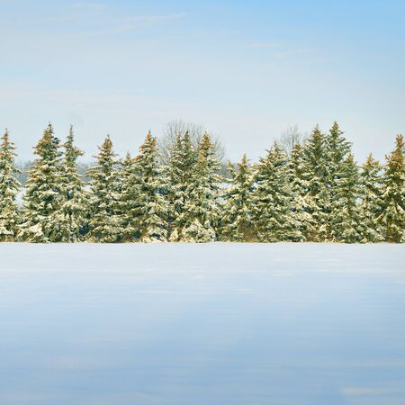 Spruce tree forest covered by fresh snow during Winter Christmas time. Archivio Fotografico
