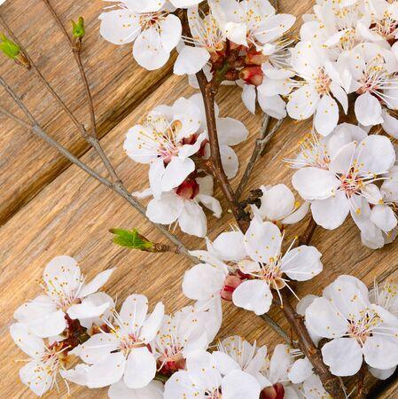 Spring flowering branch apricot on wooden background. 版權商用圖片