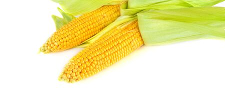 Fresh cobs of sweet corn isolated on white background. Wide photo.
