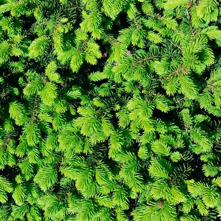 Background from fluffy young sprigs of spruce.