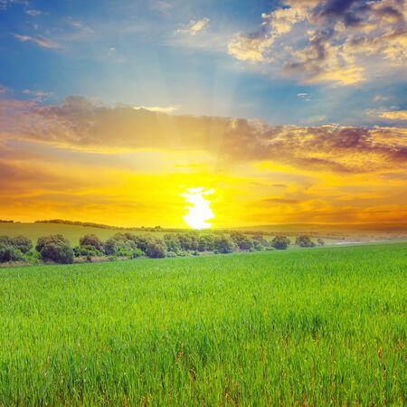 Green field, sun and blue sky. Agricultural landscape.