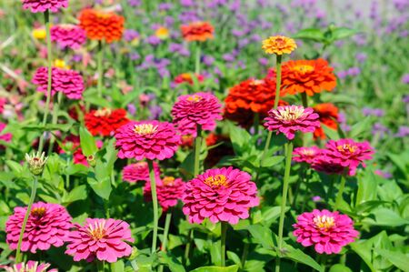 Colorful blooming zinnia blossoms in garden