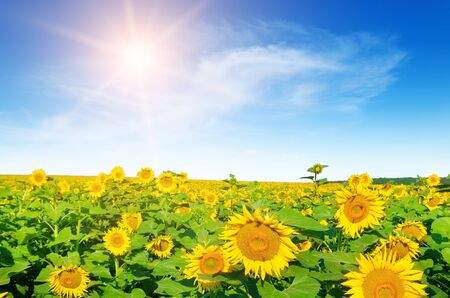 Sunflower with blue sky and beautiful sun.