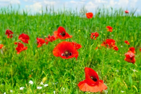 Red poppies on green field. Shallow depth of field. Focus on large flowers.