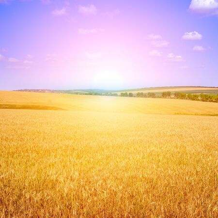 Golden sunset over wheat field. Agricultural landscape.