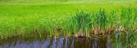 Bulrush and cattail on a swampy lake. The concept is ecosystem protection. Wide photo .