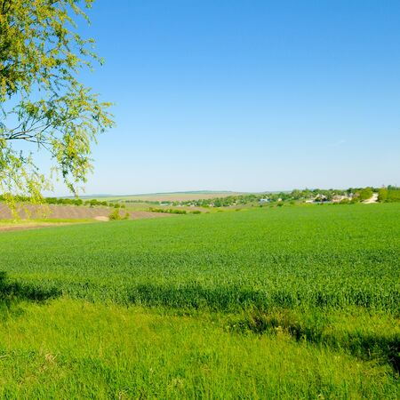 Picturesque green field and blue sky. Agricultural landscape. Standard-Bild