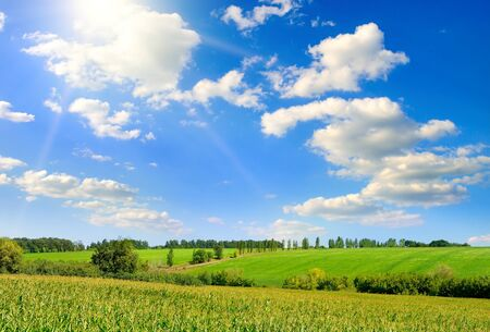 Agricultural landscape. Green corn field and bright blue sky. 版權商用圖片