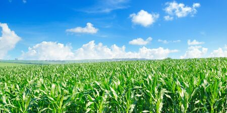 Green corn field and bright blue sky. Wide photo