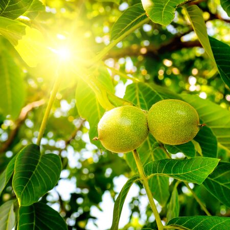 Fruits of a walnut on a branch of a tree in the yellow warm rays of the summer sun 版權商用圖片