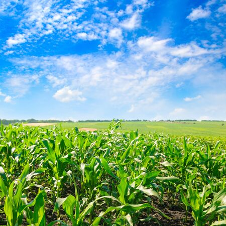 Green corn field and bright blue sky.