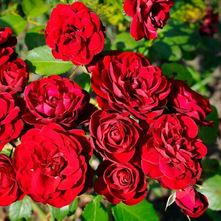 Beautiful red roses on a background of green leaves in the summer garden.