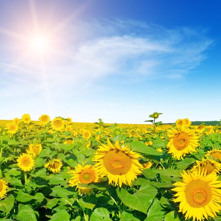Sunflower with blue sky and beautiful sun. Agricultural landscape.