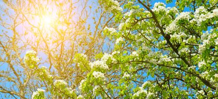 Flowering branch of pear. blooming spring garden and sun. Wide photo 版權商用圖片