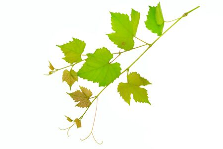 Branch of vine leaves isolated on white background. 版權商用圖片