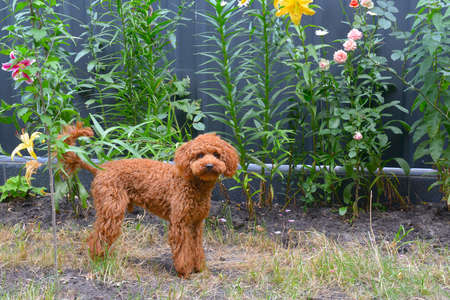 Red toy poodle walks in the garden.