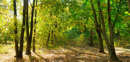 Autumn forest on a sunny day. Wide photo. Foto de archivo