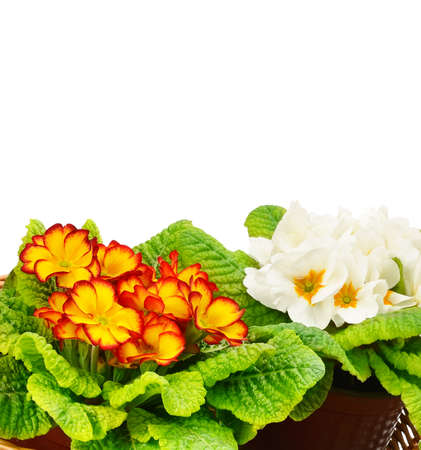 Blooming primroses isolated on a white background. Free space for text.
