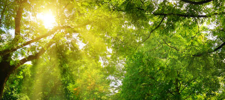 Summer park. The sun's rays shine through the green crowns of trees. Wide photo.