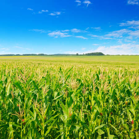Green corn field and beautiful clouds in the blue sky. Agricultural landscape.