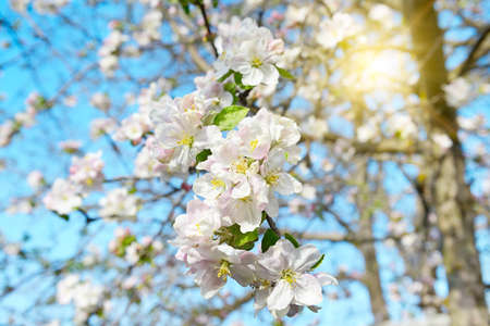 Spring flowers. Beautifully blossoming apple tree branch and sun.