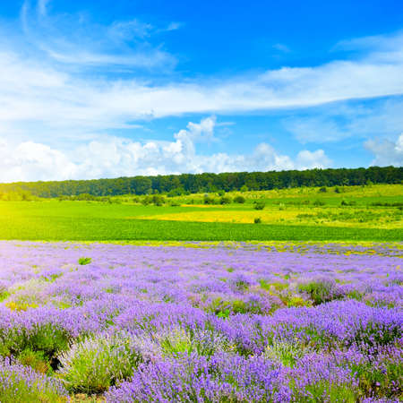 lavender field and blue sky in summer.