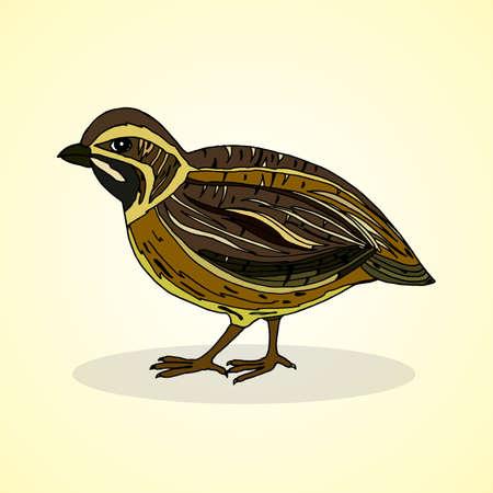 pet breeding: Quail. Aviculture. Vector illustration.
