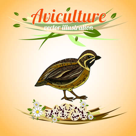 aviculture: Quail with eggs. Poultry. Aviculture. Vector illustration.