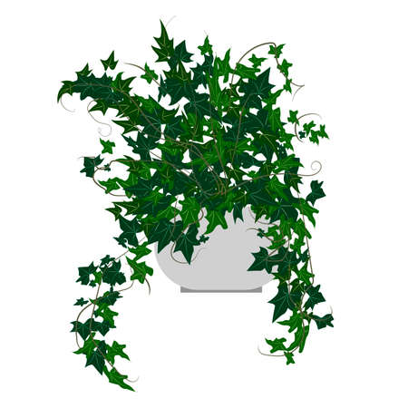 indoor garden: Ivy houseplant. Home flowers made in flat style. Vector illustration.