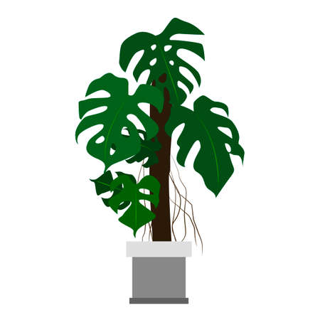 houseplant: Monstera houseplant. Home flowers made in flat style. Vector illustration.