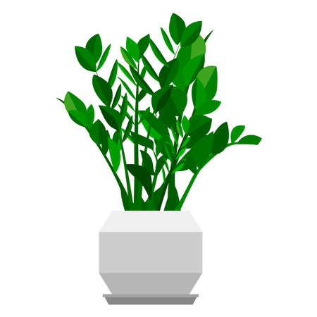 Zamioculcas dollar tree houseplant. Home flowers made in flat style. Vector illustration.