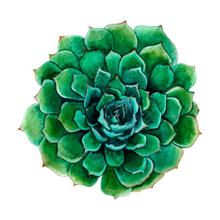 Succulent isolated on a white background. Watercolor hand drawn illustration. Beautiful and colorful flower sucuulent Reklamní fotografie