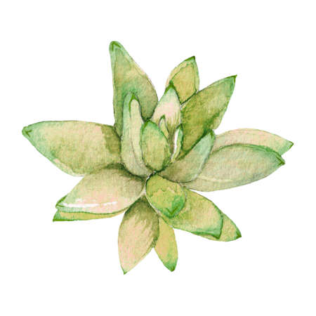 Succulent isolated on a white background. Watercolor hand drawn illustration. Beautiful and colorful flower sucuulent Stock Photo