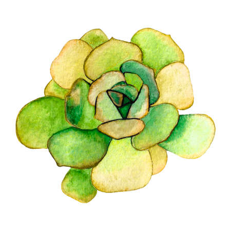 Succulent isolated on a white background. Watercolor hand drawn illustration.