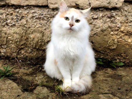 Portrait of a cute Thai cat , closeup ,bright eyes , isolated on the white ground .