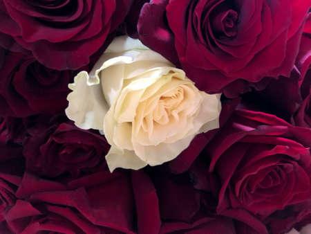 Fondo de flores rosas naturales, espacio libre. Una rosa blanca entre rosas rojas. Individualidad, sobresaliente, singularidad, independencia, pensar diferente, concepto de liderazgo. Fuera de la multitud