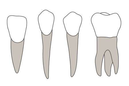 A set of molars on a white background. Vector illustration. Çizim