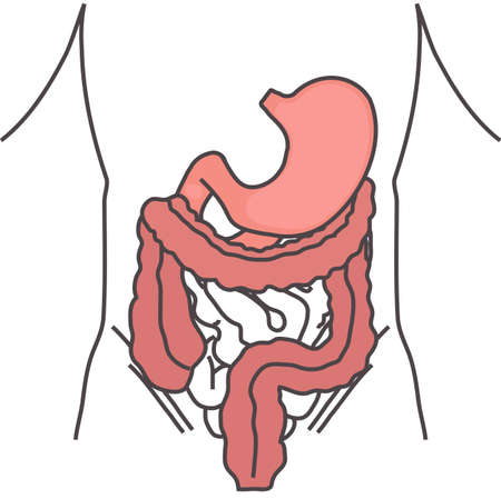 Stomach and colon on white background. Vector illustration. Illustration