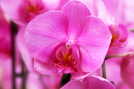 phalaenopsis: Pink orchid