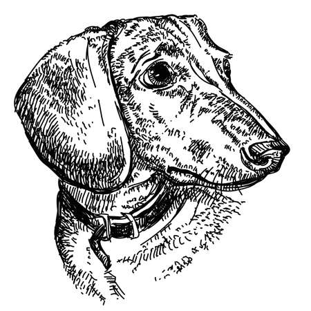 Portrait of young dog Dachshund in a collar vector hand drawing illustration in black.