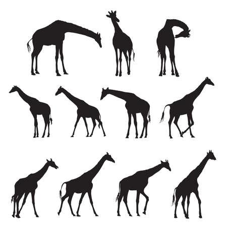 Reeks zwarte silhouetten van giraffen die op witte bacground worden geïsoleerd